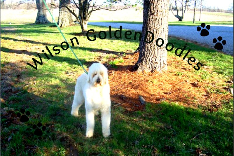 Wilson GoldenDoodles